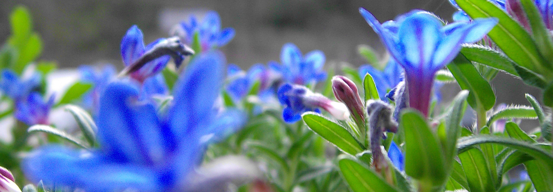 Headerbild - blaue Blumen, Foto: Gabi Sussdorf