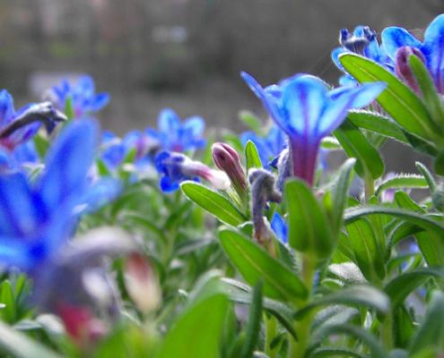 Blaue Blume, Foto: Gabi Sußdorf